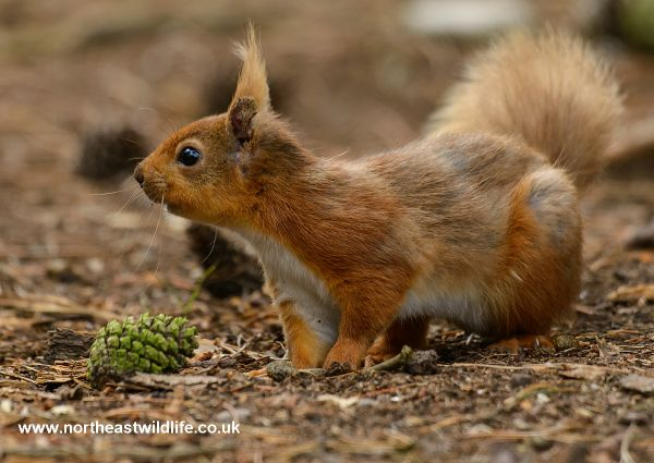 Red Squirrel Safari