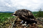 Spring clean for osprey nests as nature lovers urged to look to the skies