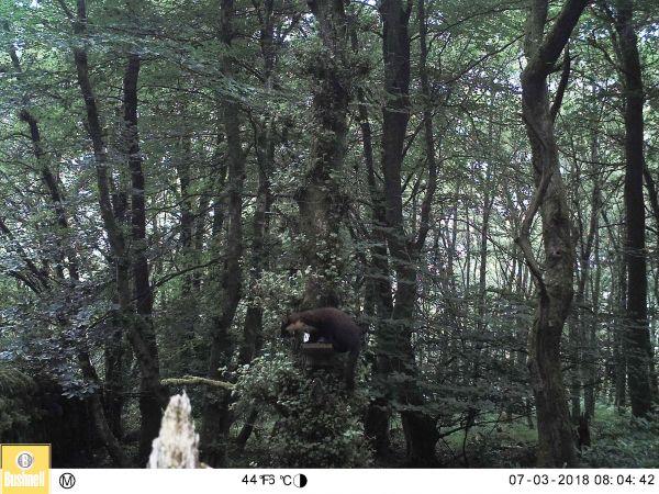 Pine marten returning to Kielder Water & Forest Park