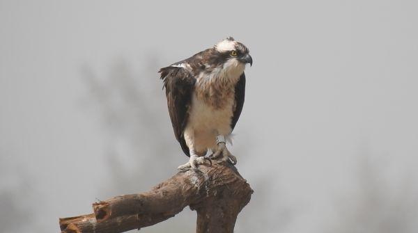 Returning ospreys will be a sight for soar eyes