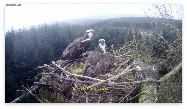 A magnificent return – ospreys back for the summer