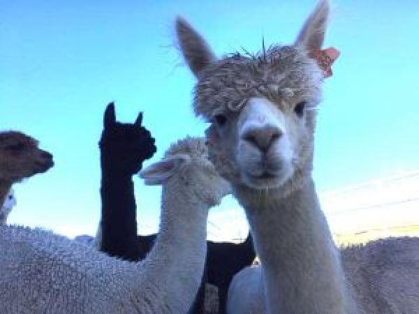 Visit Ferny Rigg Alpacas