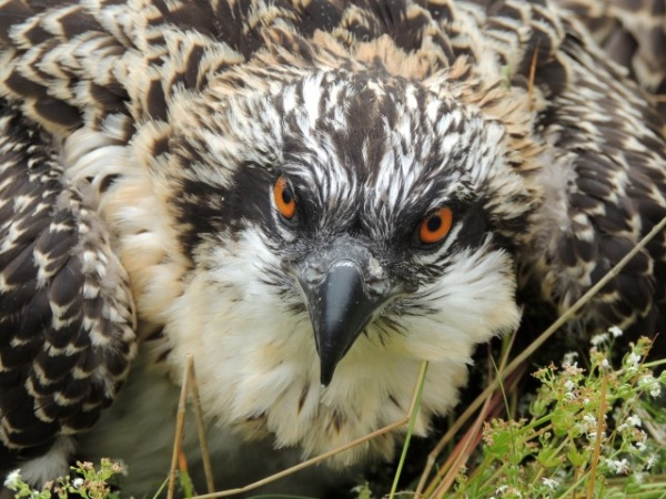 Kielder Osprey Chicks are ringed for a fifth year