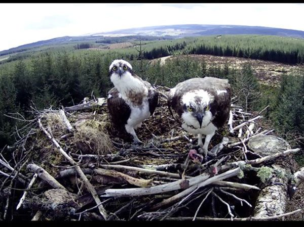 Kielder ospreys sitting on eggs