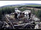 Kielder ospreys sitting on eggs
