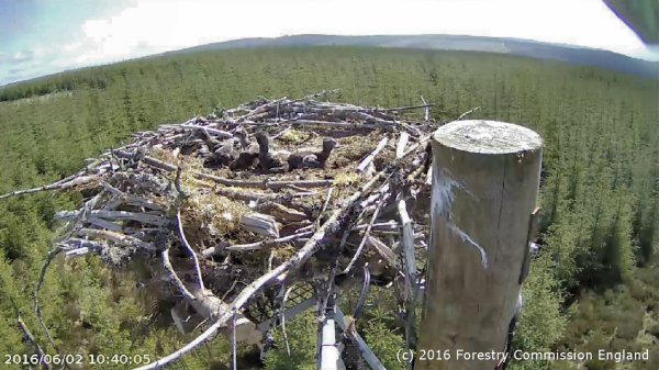 Kielder Ospreys having a record 'beaking' 2016