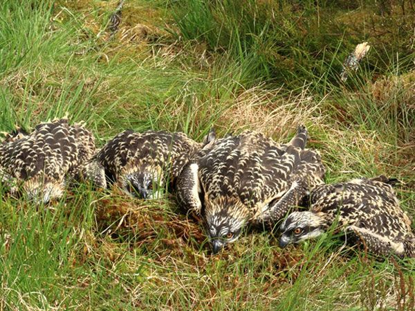 An awesome foursome for the Kielder Osprey Project