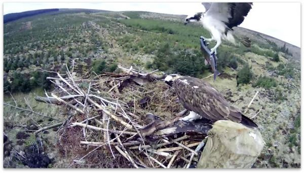 Kielder ospreys sitting on 13 eggs