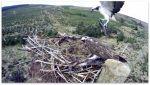 Kielder ospreys sitting on 13 eggs
