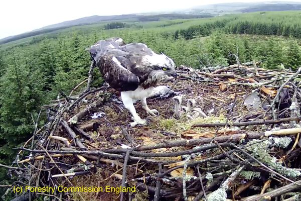 Chirpy dozen heralds another record breaking season for the kielder ospreys