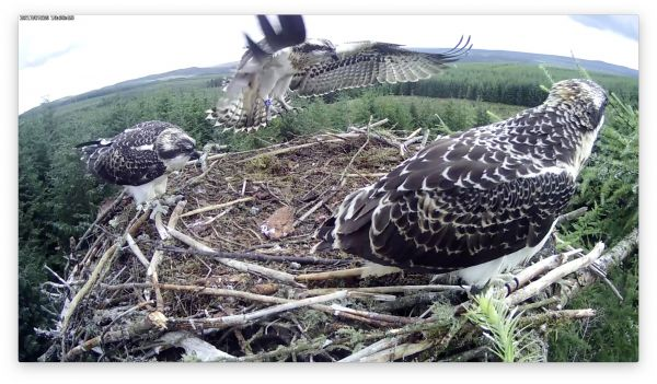 50th Kielder osprey chick fledges