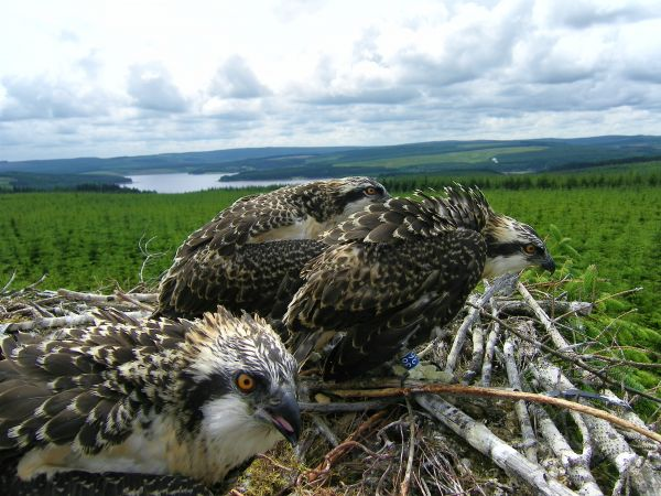 They're On Their Way - Eyes To The Skies For The Kielder Ospreys