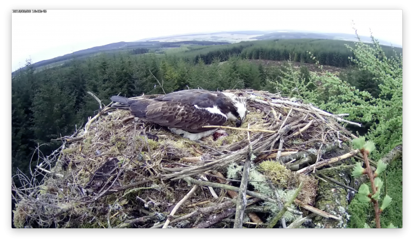 Exciting osprey news for Kielder