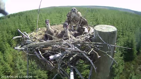 2018 marks a decade of Ospreys breeding at Kielder