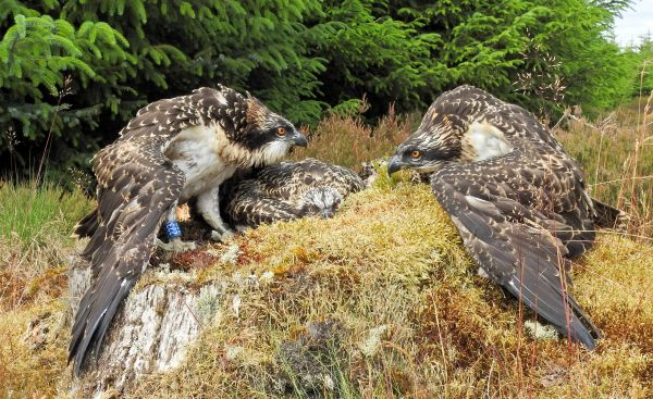 Tenth year of Kielder ospreys brings new nest!