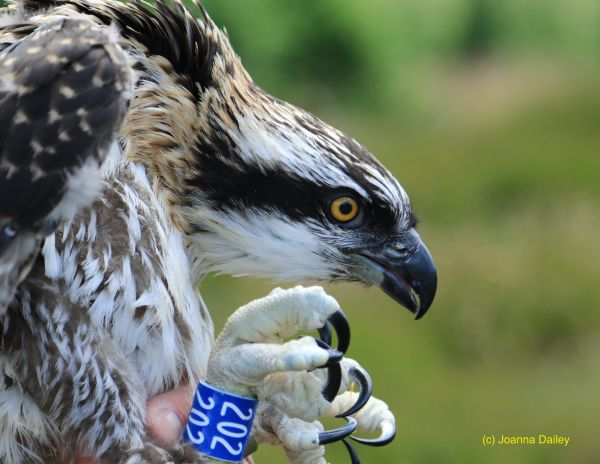 Eleven ospreys for eleventh year as chirpy visitors break another record