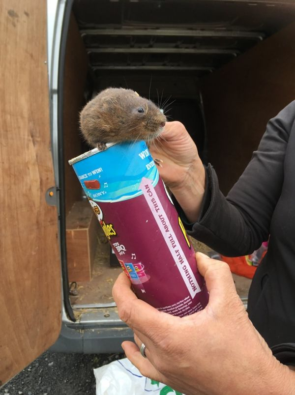 Rain didn't stop voles' release