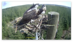 Ospreys return to Kielder Water and Forest Park