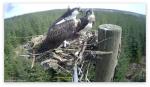 Ospreys return to Kielder Water and Forest Park