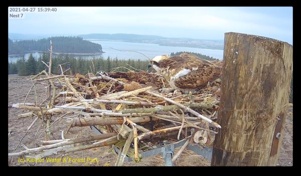 Osprey eggs galore at Kielder